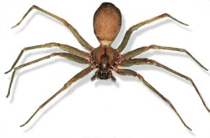 The Oklahoma house spider -- The Brown Recluse
