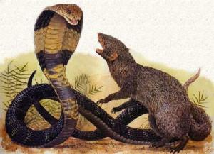 Mongoose and Cobra in mortal combat